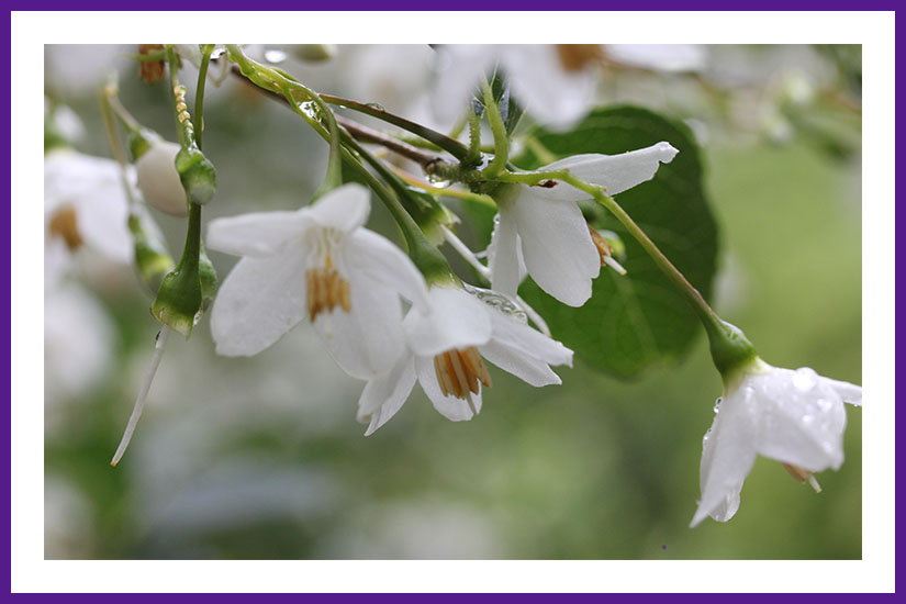A photo of a Japenness Bell Flower Tree which show the lovely white flowers,