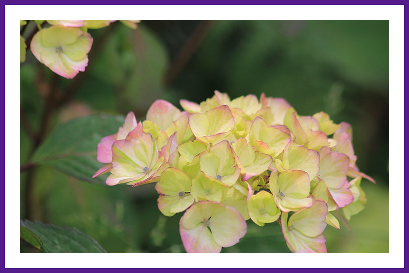 Another photo of a hydrangea in the garden. This one eventually truns pink